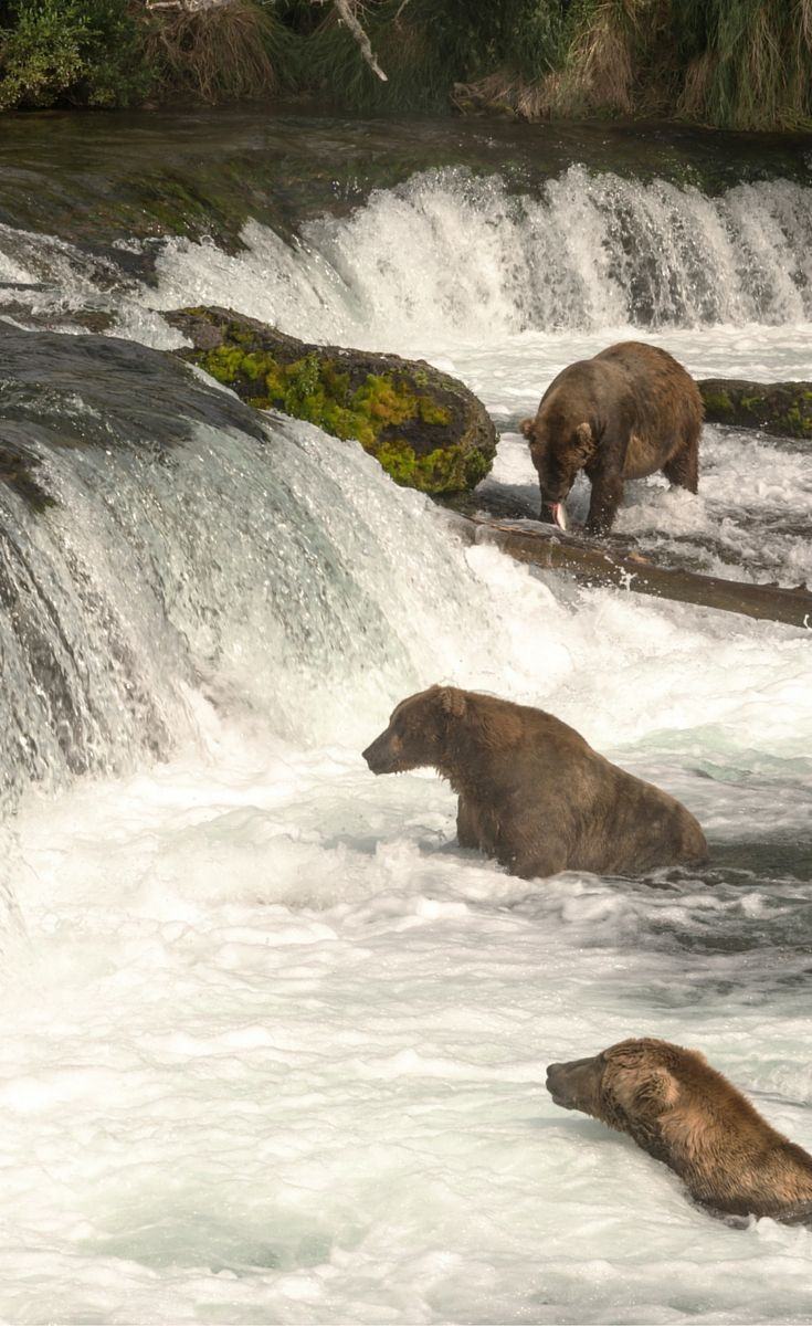 Bears catching salmon during the yearly migration. If you go to Alaska at the right time you can take a tour to see this incredible site. Click to read 10 more irresistible reasons to visit Alaska!