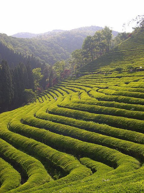 Boseong Tea Plantations in Jeollanam-do, South Korea (by jessicahitch).