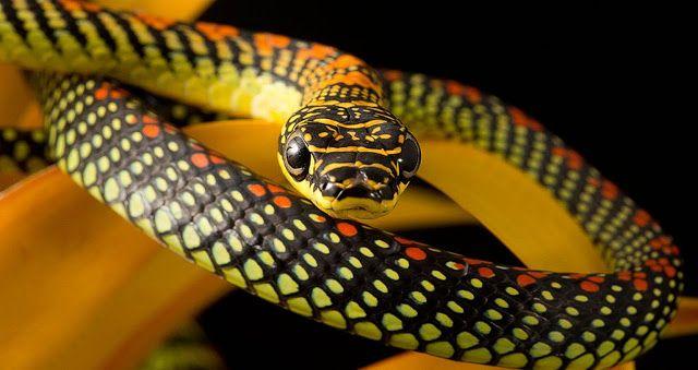 Rajskaya Drevesnaya Zmeya Chrysopelea Paradisi Rainforest Animals Snake Lizard
