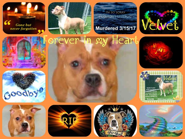 VELVET MURDERED, REST IN PARADISE SWEETHEART ❤️ I'M SO VERY SORRY /ij Manhattan Center My name is VELVET. My Animal ID # is A1104661. I am a spayed female tan and white am pit bull ter and amer bulldog mix. The shelter thinks I am about 4 YEARS old. I came in the shelter as a STRAY on 02/25/2017 from NY 10456, owner surrender reason stated was BITEANIMAL. TO BE DESTROYED 03/15/17 **NEW HOPE ONLY!** - Click for info & Current Status: http://nycdogs.urgentpodr.org/velvet-a1104661/