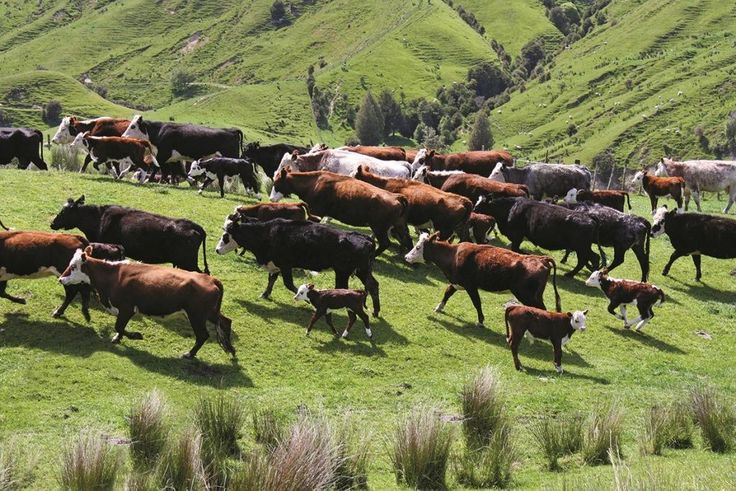 There are 70 stud Angus cows and 150-200 stud Hereford cows at Waikura Station at Pehiri, south of Gisborne.