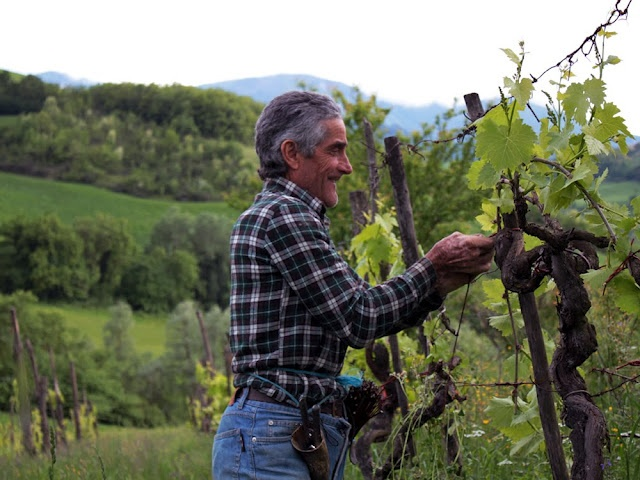 Vine pruning and tying in Le Marche, Italy