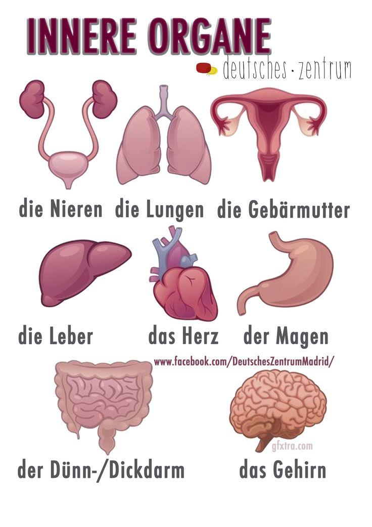 Innere Organe Deutsch Wortschatz Grammatik Alemán German DAF Vocabulario