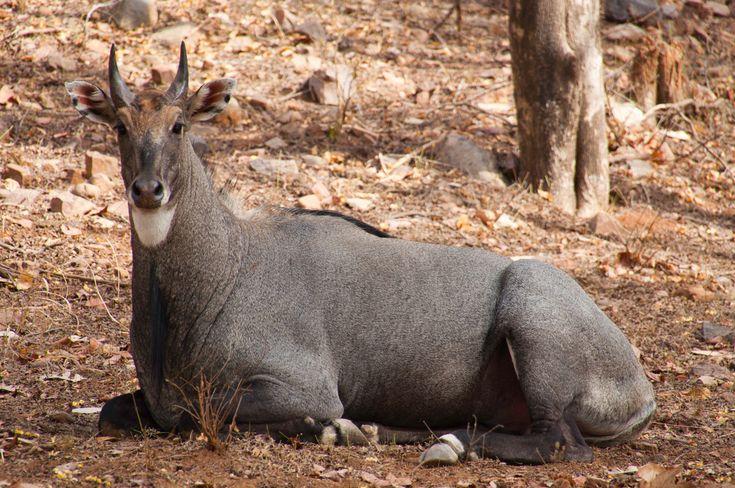Nilgai (Blue cow), Gir Forest