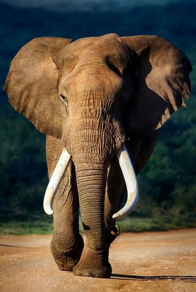 Such an extraordinary animal...A proud stunning tusker that needs to stay like that!...I hope he's safe...