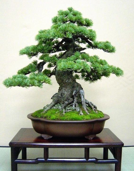 i love bonsai's becuase they are so magical looking and i really think by there beauti they are soo special More