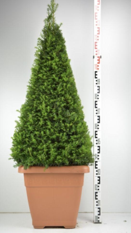 Taxus baccata egyptische piramide. Favourite Plant of Boomkwekerij Meerstraat.