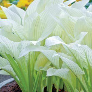 Filigree Hosta Gorgeous to brighten up shade gardens.  Shade Perennials By Michigan Bulb Company