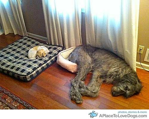 Hehe!Dogs Beds, Small Dogs, Silly Dogs, Irish Wolfhounds, Bigdogs, So Funny, Little Dogs, Big Dogs, Animal