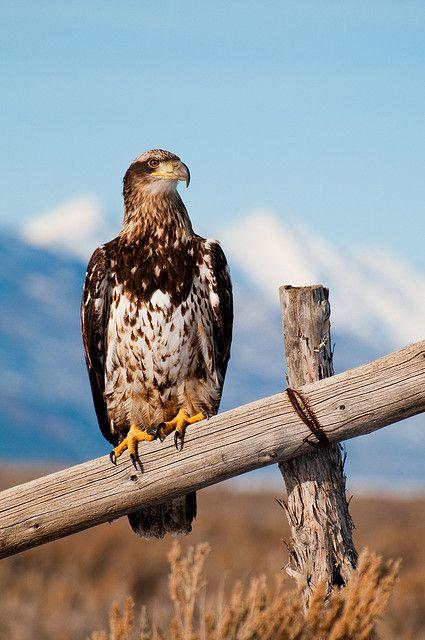 Juvenile Bald Eagle by Sam Scholes, via Flickr