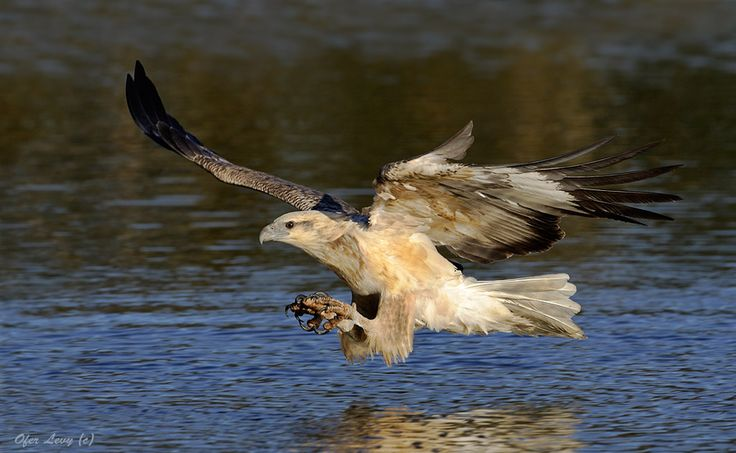 White-bellied Sea-Eagle by Ofer Levy on 500px