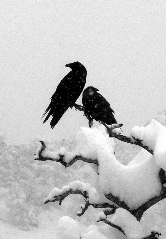 serenely beautiful corvidae pair...in the quiet winter snow.  :)