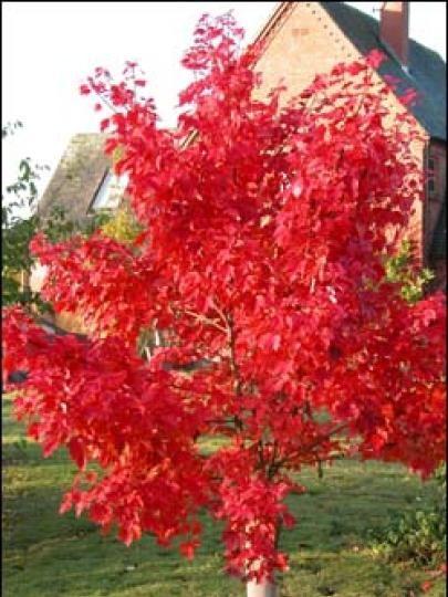 BlueBell Nursery - BlueBell Nursery - Trees & Shrubs - Acer - Acer rubrum 'Red Sunset'