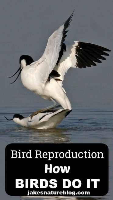 Bird Reproduction - all about how birds do it.