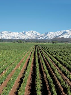Mendoza, Argentina wine country. Grapevies with the Andes in the distance. Just gorgeous.