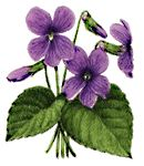 "Medicinally, violet is a gentle but potent remedy. It is classified as an alterative (or ""blood purifier""), which means it helps the body restore optimal functioning by aiding metabolic processes, especially the elimination of waste products. Violet stimulates the lymphatic glands, helping the body get rid of bacteria and other toxins. It is especially useful for swollen glands. Over time, violet can help clear stubborn problems like eczema, psoriasis, and acne. Taking Violet after a long…"