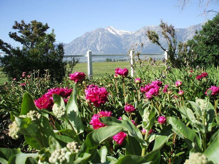 Milkweed Peonies And Jobs Peak From The Dangberg Home Ranch Historic Park Near Minden