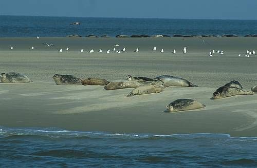 Waddenzee sand with seals and seagulls, northern Netherlands (Unesco World Heritage site)