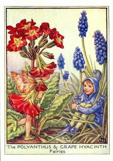 Polyanthus & Grape Hyacinth Fairy