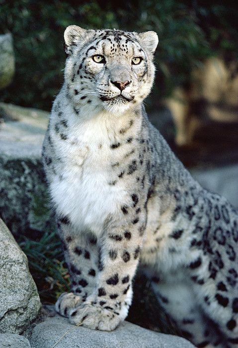 Snow Leopard Uncia Uncia Portrait Greeting Card