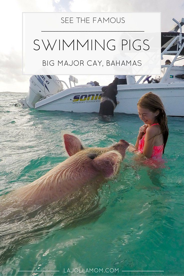 Best 25 Swimming Pigs Ideas On Pinterest Pig Beach Pigs And Sports Day Hurdles