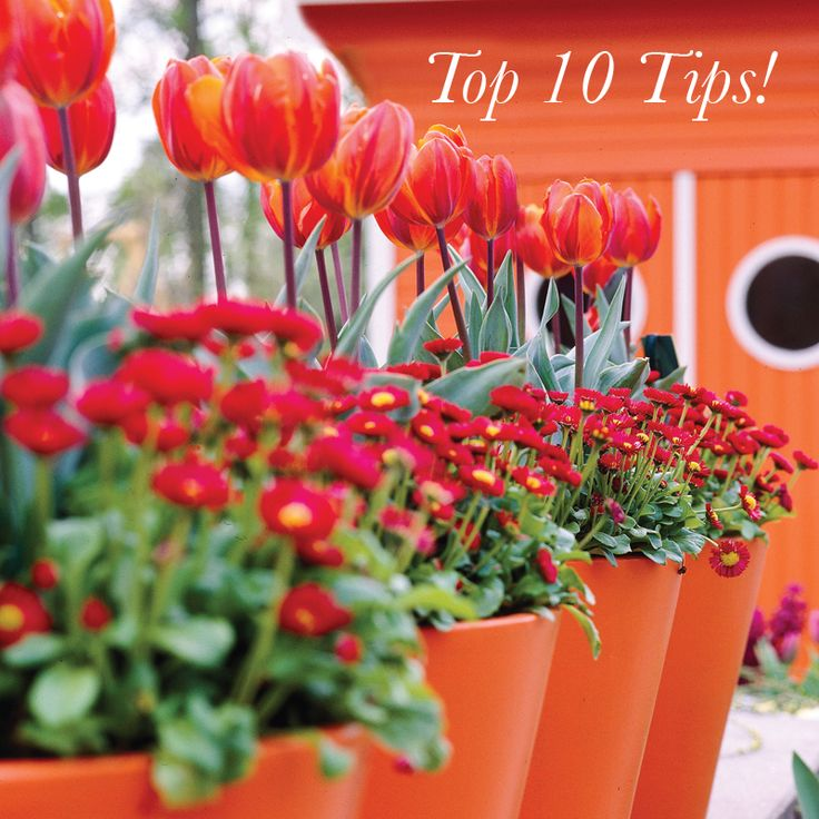 Top Ten Tips on How to Plant your Spring Bulbs in Pots   To become an expert click: http://www.tesselaar.net.au/resources/top-ten-tips-plant-spring-bulbs-pots/  #Gardening #Springbulbs #Pots