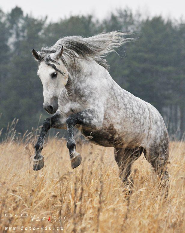 андалузская энергия / лошадь принадлежит Ассоциации андалузов в России