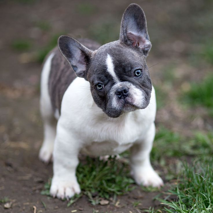 mini french bulldog for sale the 25 best bulldog puppies for sale ideas on pinterest 3646