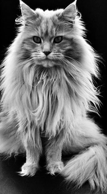 Maine Coon Cat History.Click the picture to read #cats My favorite cat!