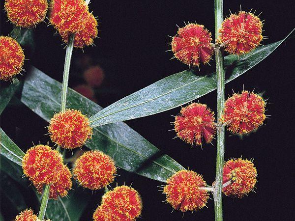 Orange Flowered Wattle Acacia Auratiflora
