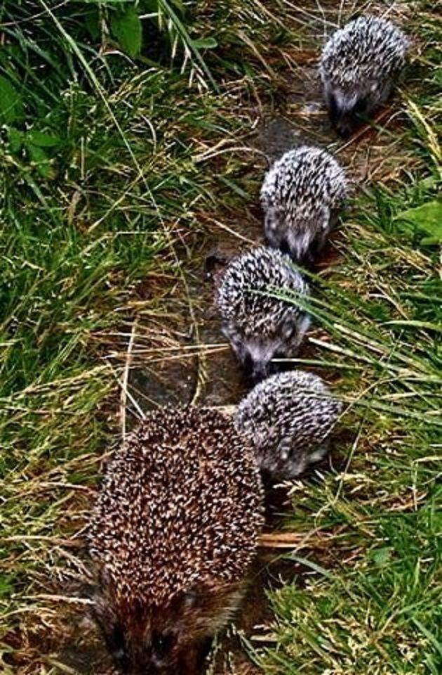 Mother hedgehog and her little 'hedges'