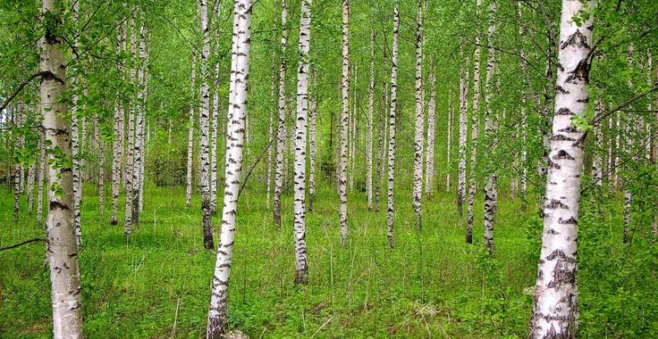Frunzele, mugurii și seva de mesteacăn sunt magice pentru sănătate! | Paradis Verde