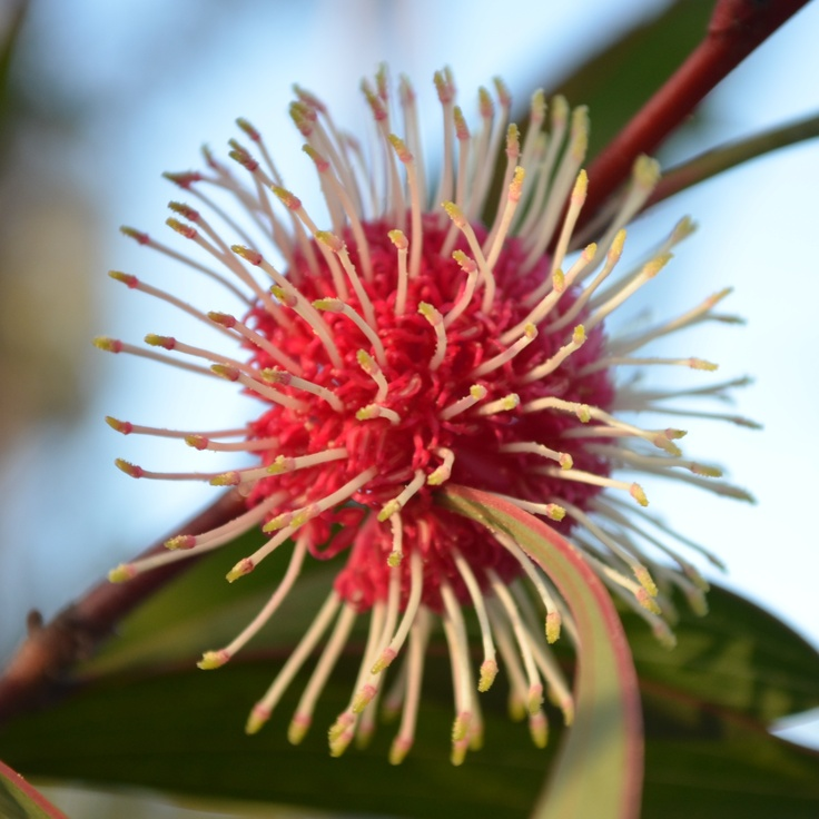 "July 15 - ""Red"" - a pin-cushion hakea"