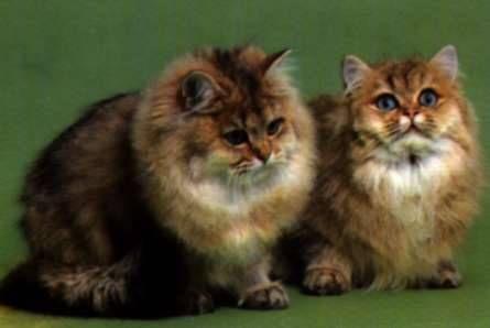 Cymric cat photos   Cymric. Cymric, Cymric Cat Breed Description, Cymric Photographs.