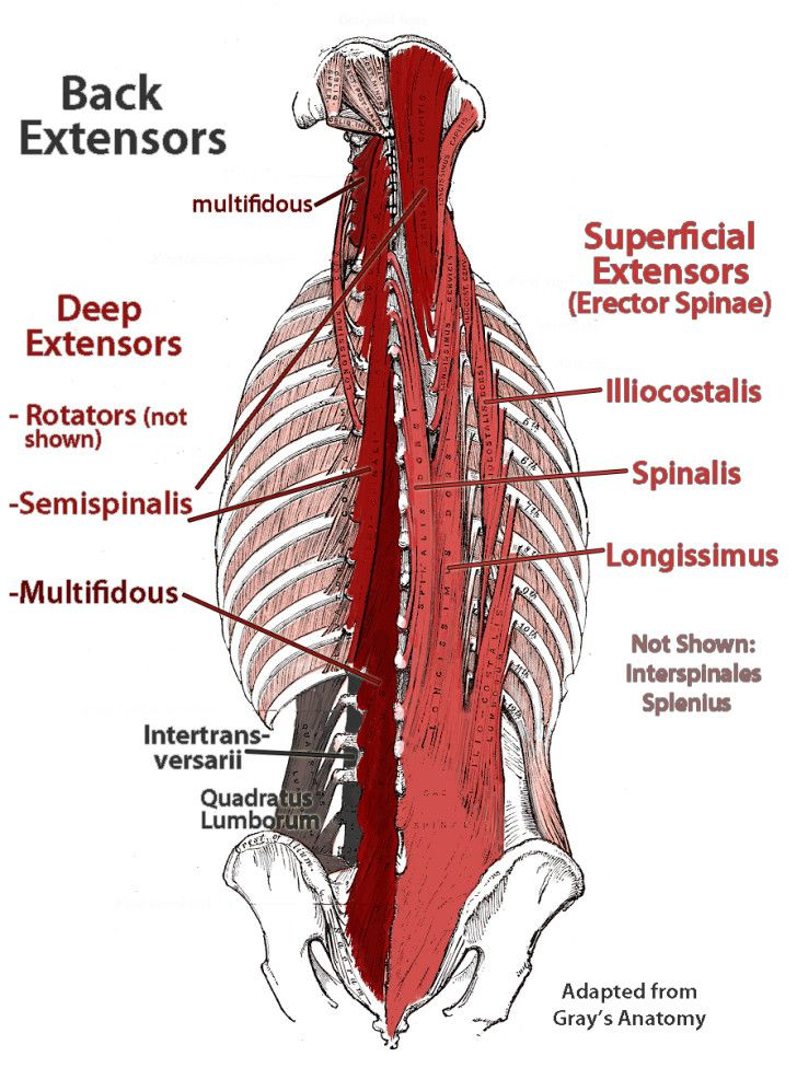 Muscles , 7 Deep Muscles Of Back Anatomy : Deep Muscles Of Lower Back