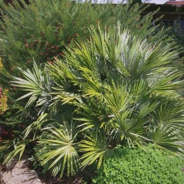 Les 25 meilleures id es de la cat gorie palmier chamaerops for Plante palmier exterieur