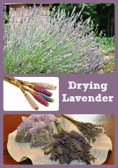 Describes when and how to dry lavender blooms so they can later be used in floral bouquets, crafts, and sachets.