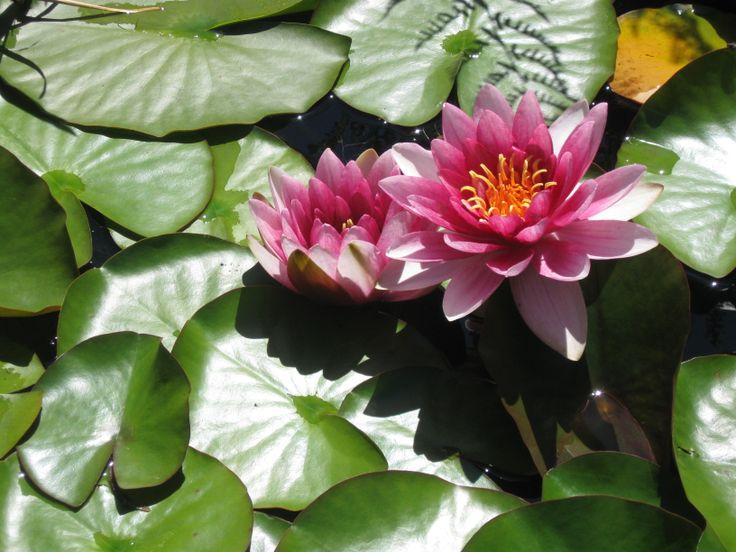 water lily in my friends garden