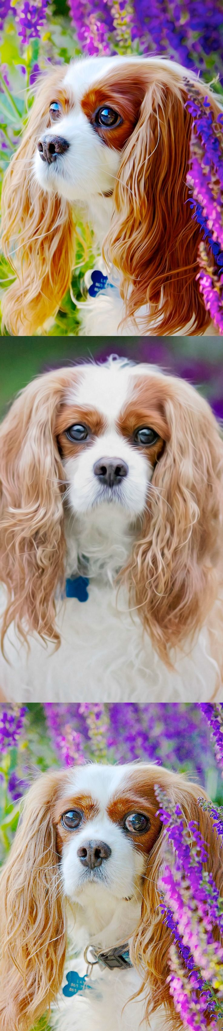 637 best cavalier king charles spaniel images on pinterest dog landon blenheim cavalier king charles spaniel by leanne newman nvjuhfo Choice Image