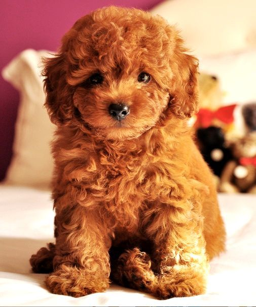I love Big Dogs such as German Shepherd, Alaskan Malamute, Siberian Husky, Belgian Tervuren and Bulgarian Shepherd. Only 1 small dog I like. This Teddy Bear Toy Poodle. Want this so bad ....