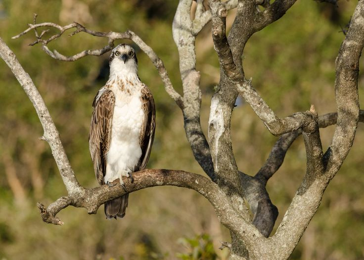 Young Osprey peering from a tree