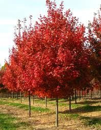 acer rubrum october glory - Google Search