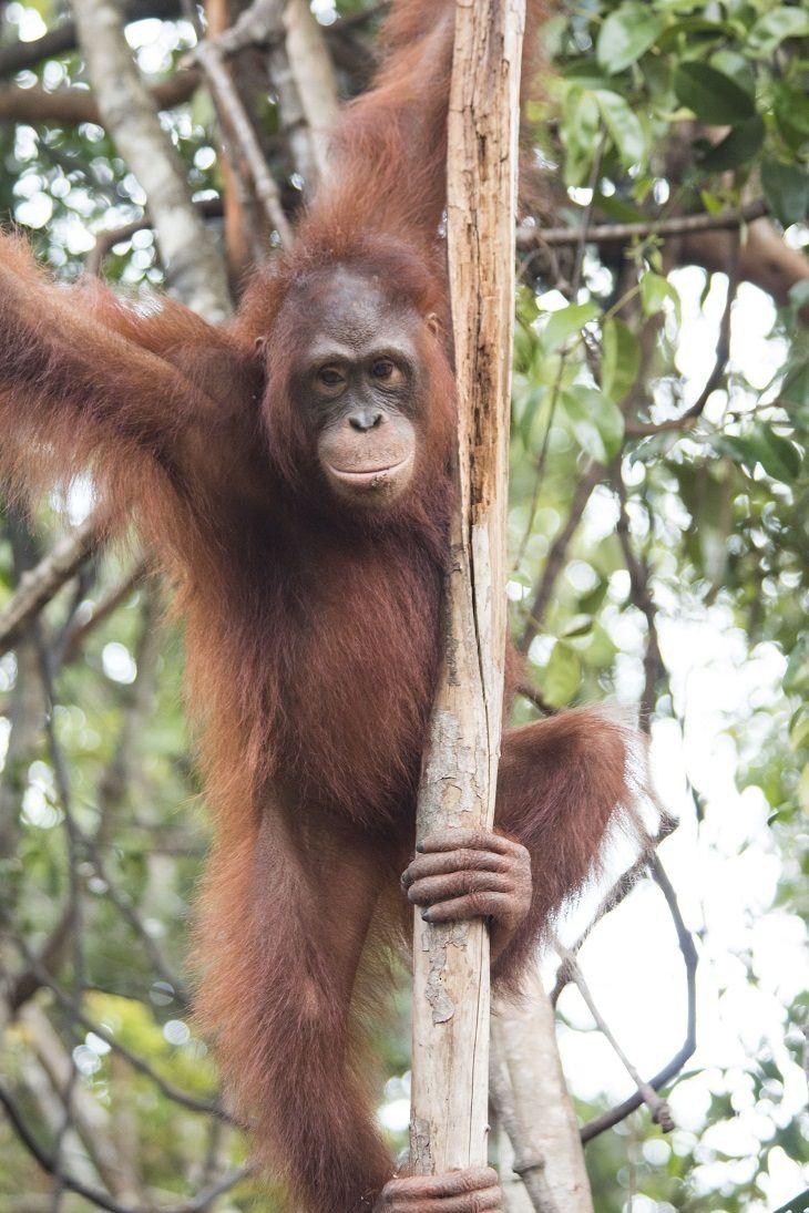 Monti - The Orangutan Project