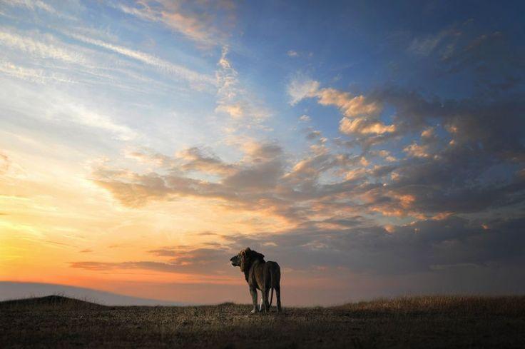 2015 National Geographic Photo Contest | National Geographic - Lion - Sunrise - Kenya - Nature