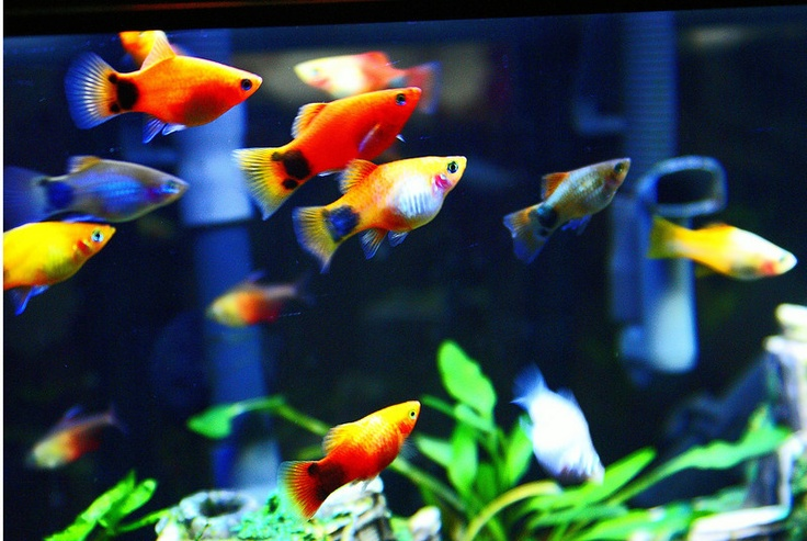 Mickey mouse platy these fish are so cool animals for Cool tropical fish