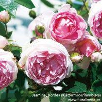 Jasmina, Kordes (Klätterrosor/Ramblers)