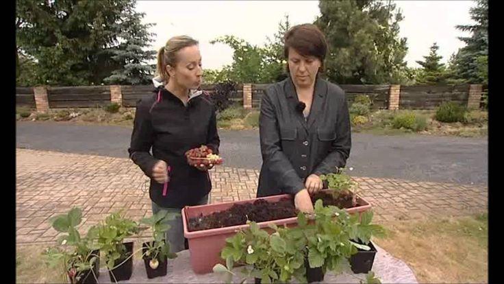 Pěstování jahod doma v truhlících