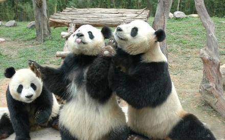 Panda I love #Panda