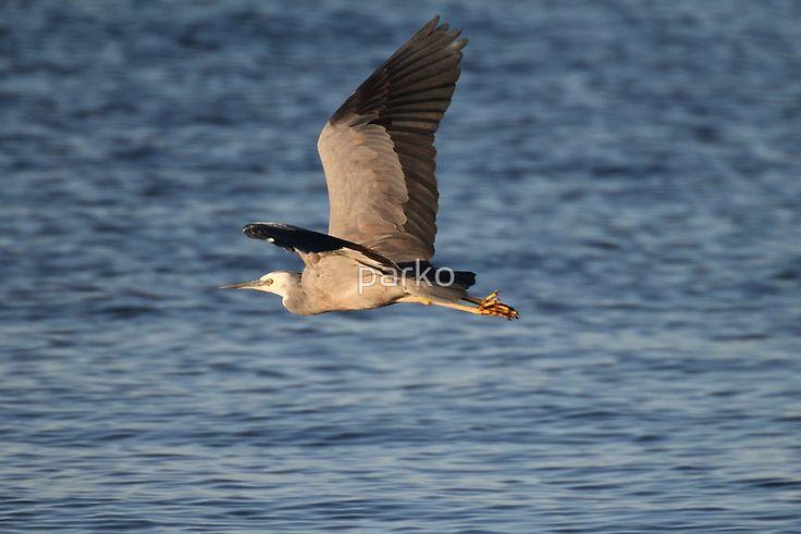 australian grey heron
