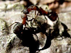 Epic Sie suchen Hausmittel gegen Ameisen im Haus in der K che im Garten oder auf